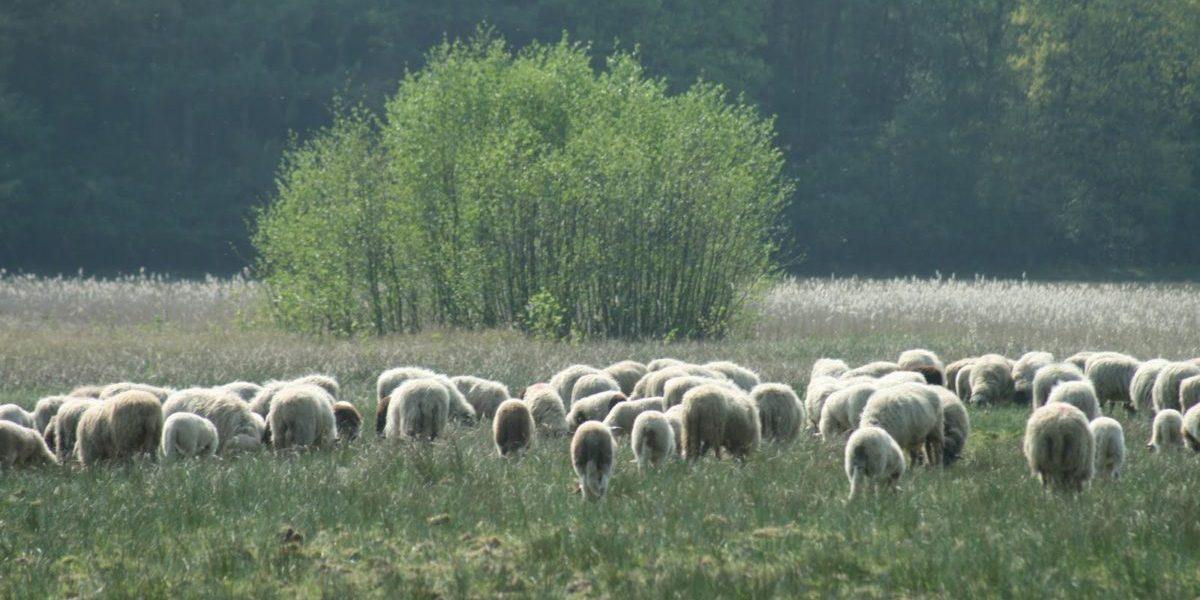 afbeelding schapen verkleind